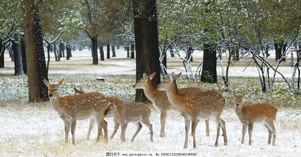 雪地梅花鹿 生物世界 野生动物 树林 摄影