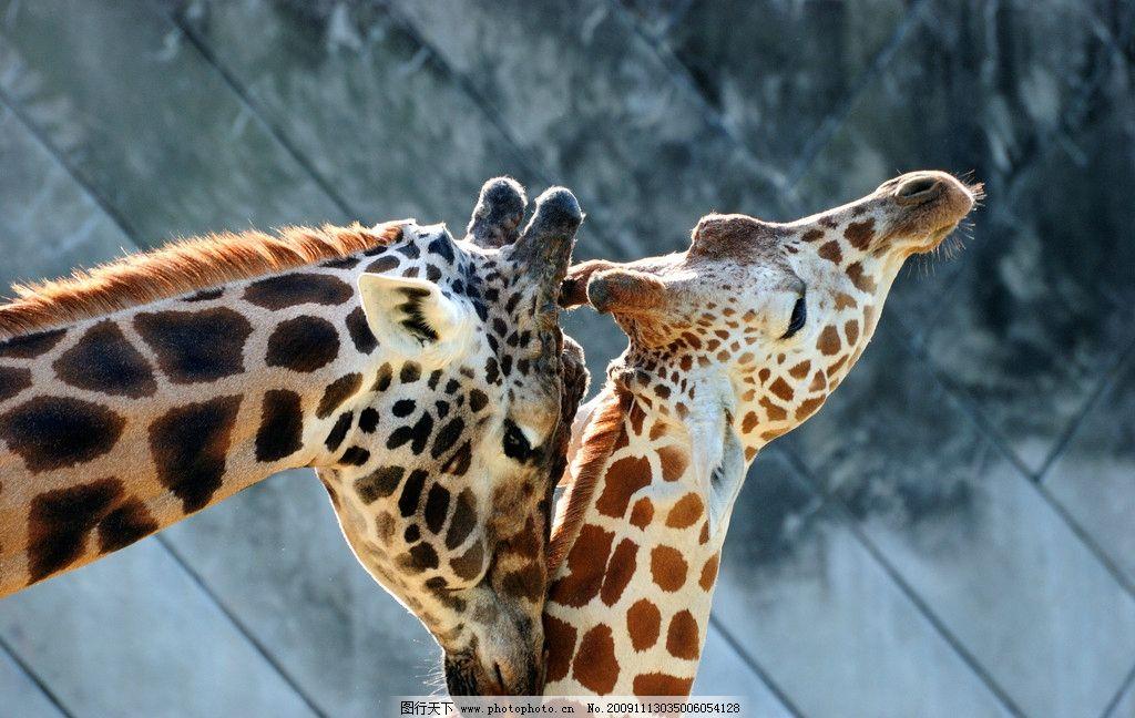 长颈鹿 动物世界 表情 动物 脖子 花纹 脊椎动物 蹄子 非洲 哺乳动物