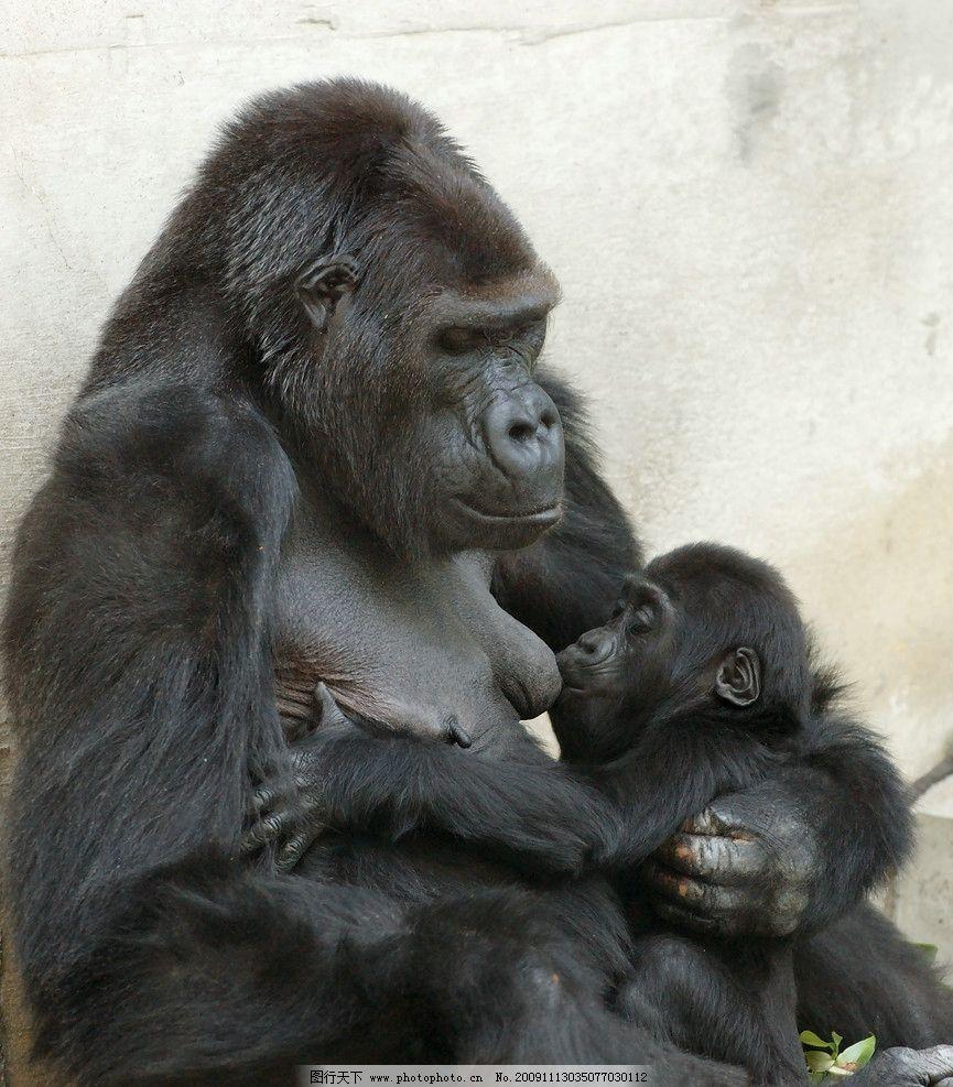 猩猩 母子 哺乳 生物世界 野生动物 摄影图库 摄影 300dpi jpg