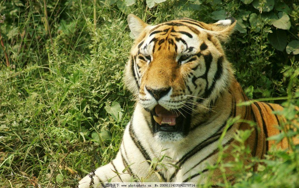 老虎 绿色 草丛 野生动物 生物世界 摄影