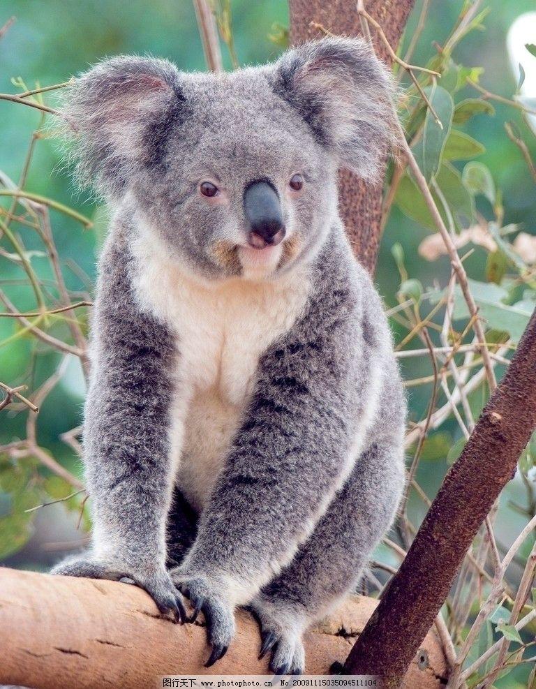考拉 树袋熊 无尾熊 可拉熊 澳大利亚 野生动物 生物世界 摄影