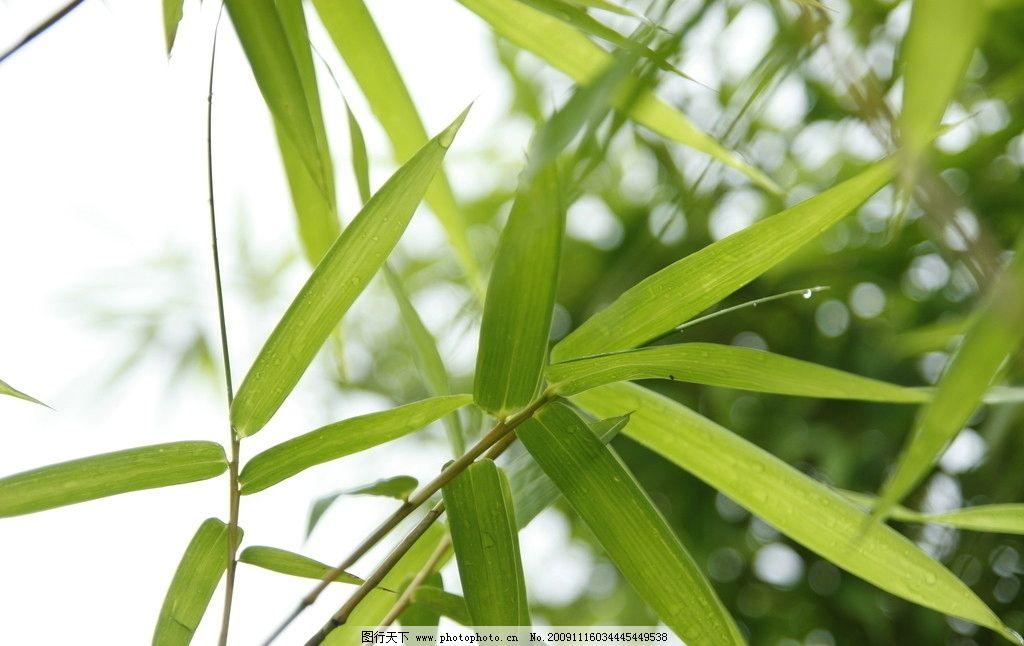 竹叶 天空 远近 嫩绿 出游拍照 山水风景 自然景观 摄影 72dpi jpg