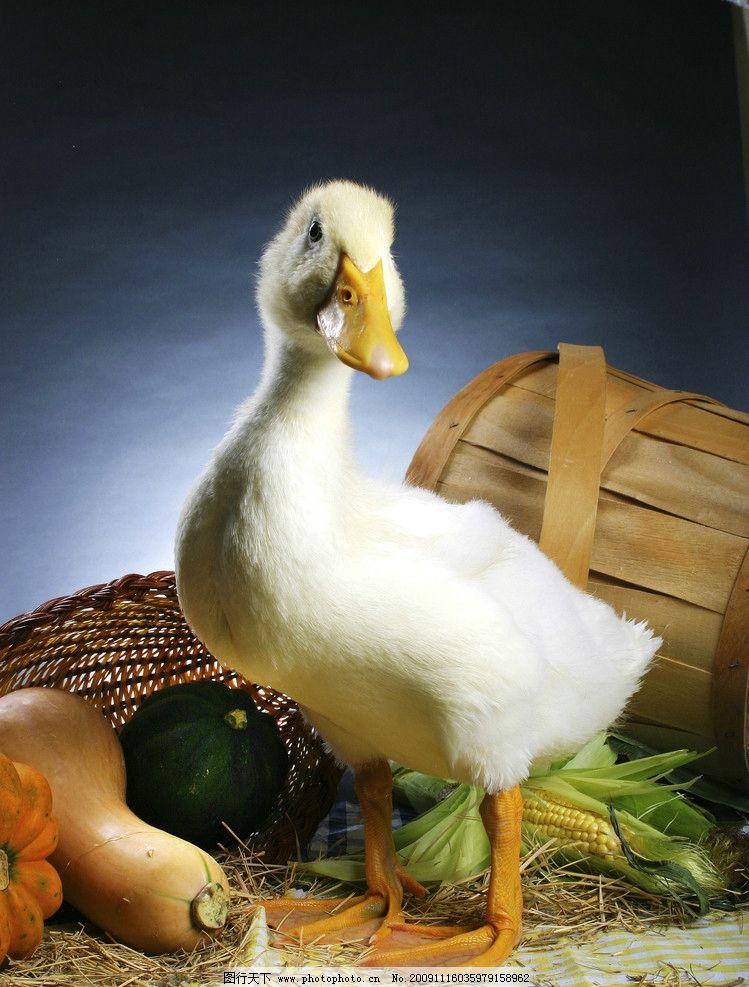 鸭子 可爱 鸭 冬瓜 南瓜 生物世界 家禽家畜 设计图库 300dpi jpg