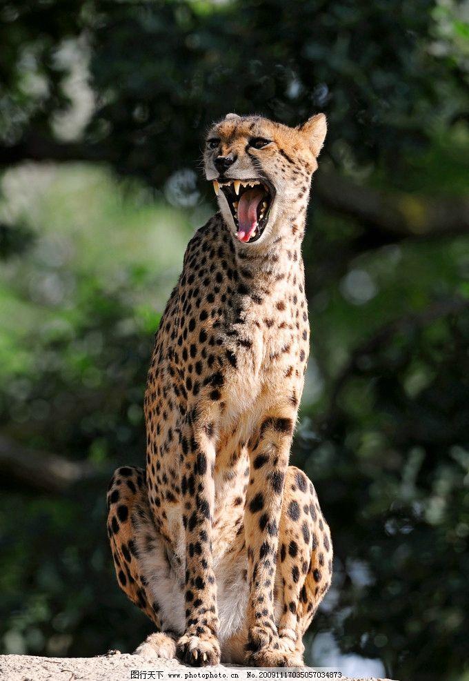 金钱豹 猫科动物 猎豹 豹子 野生动物 生物世界 摄影 300dpi jpg