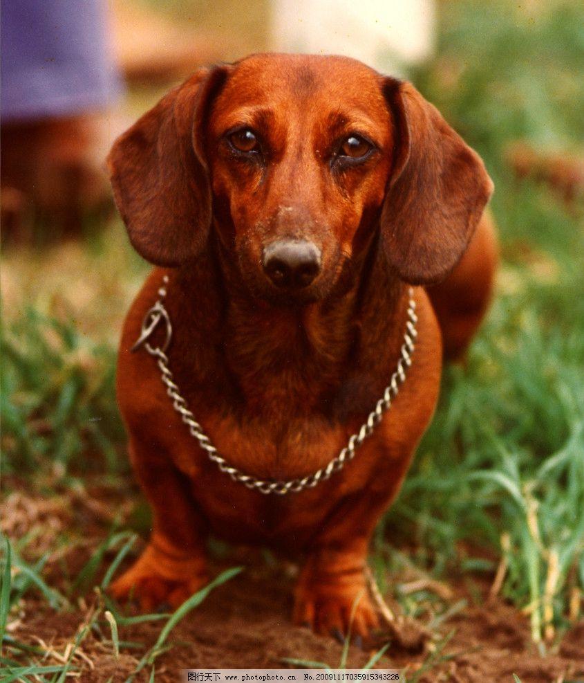 可爱的狗 棕色 蜡肠 狗 可爱 短腿 草地 正面 无辜 家禽家畜 生物世界