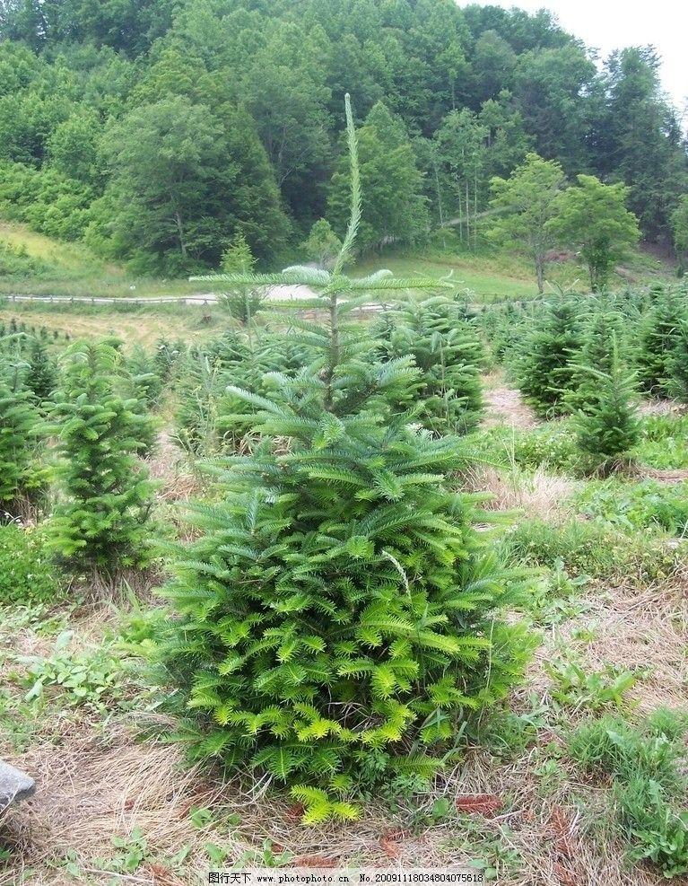 圣诞树森林植被植物针叶林针叶树云杉树木摄影图片