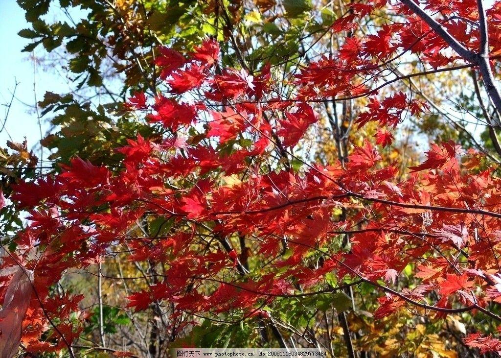 红叶 龙湾森林公园 龙湾自然保护区 枫叶红了 枫叶 自然风景 自然景观