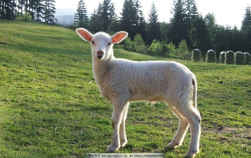 小羊 可爱的小羊 绿油油的草地 高大的杉树 远远的山 摄影