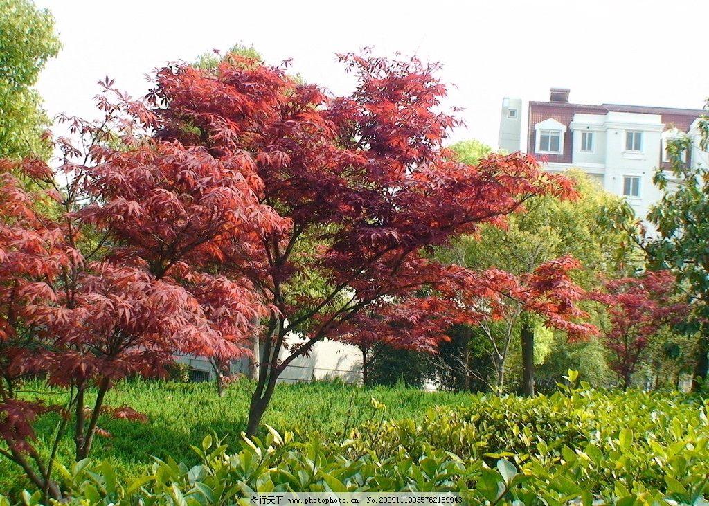 红枫树 红枫 绿地 草坪