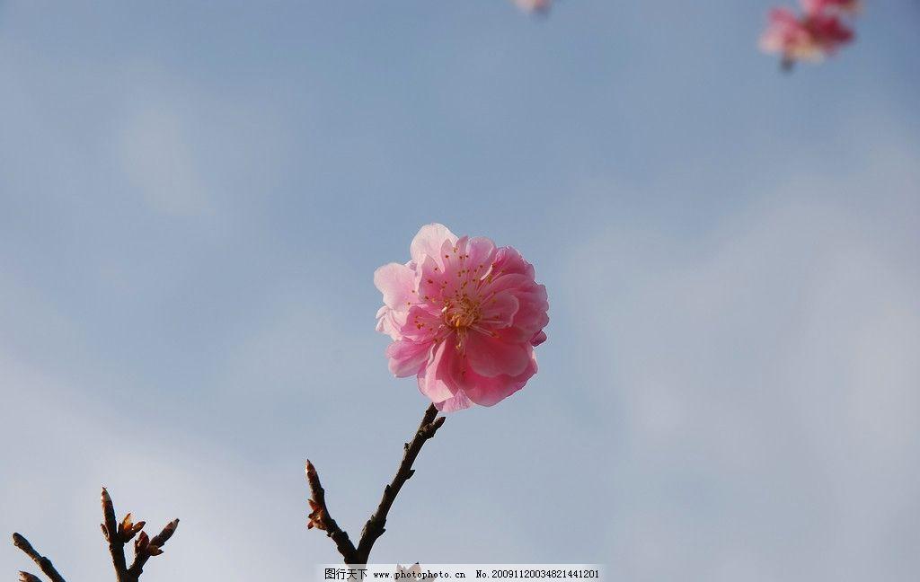 梅花 花 梅 自然风景 自然景观 摄影 300dpi jpg