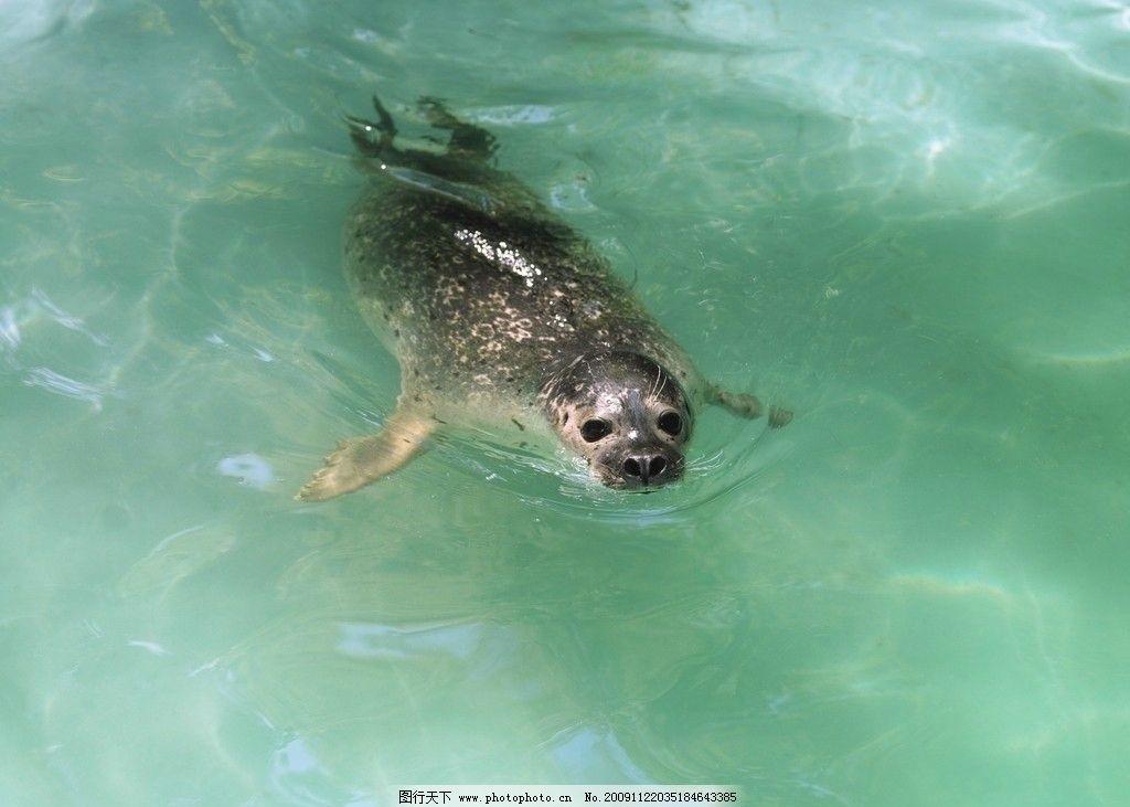海豹图片,保护动物 海洋生物 生物世界 摄影-图行天下