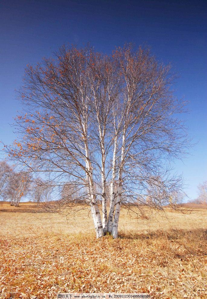 美丽的塞罕坝 秋天 草原 白桦树 超广角 塞罕坝 坝上 自然风景 自然