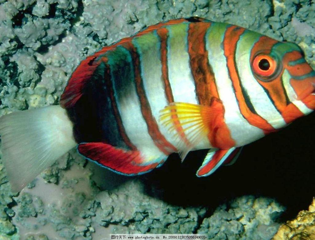 小丑鱼 海洋 鱼类 珊瑚 野生动物 生物世界 摄影