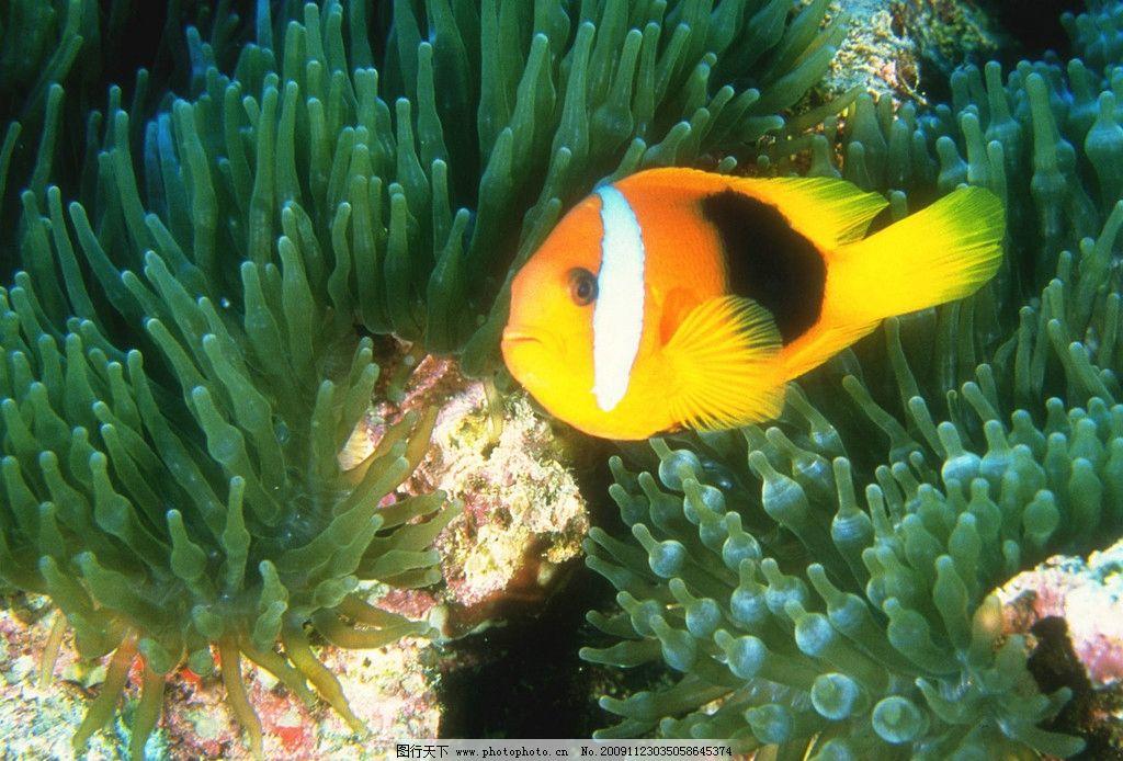小丑鱼 海洋 鱼类 珊瑚 野生动物 生物世界 摄影 300dpi jpg