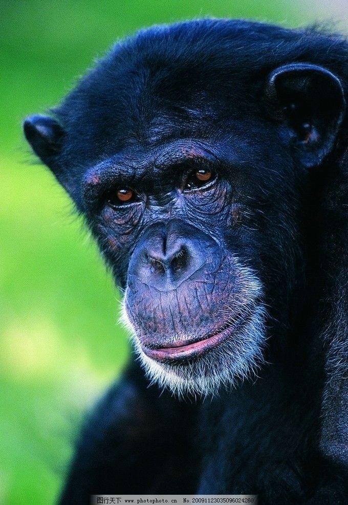 猿科动物图片