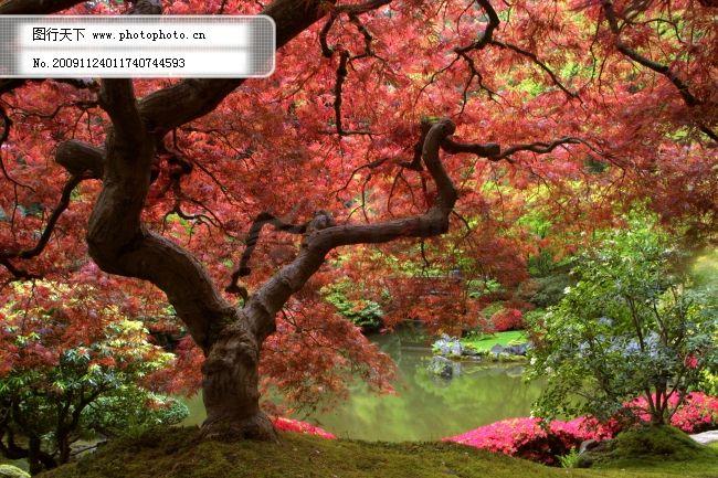 红色枫叶树 风景 风景背景 风景画 风景素材 风景图 枫叶风景图片