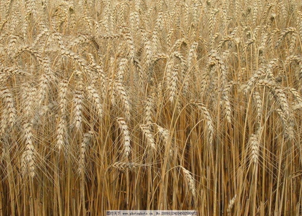 麦子粘贴画手工制作