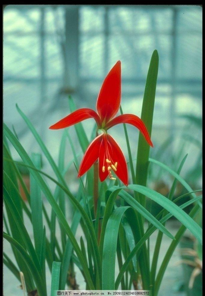 百花15 绿叶 兰花 红色 一枝独秀 百花娇美 自然风景 自然景观 摄影