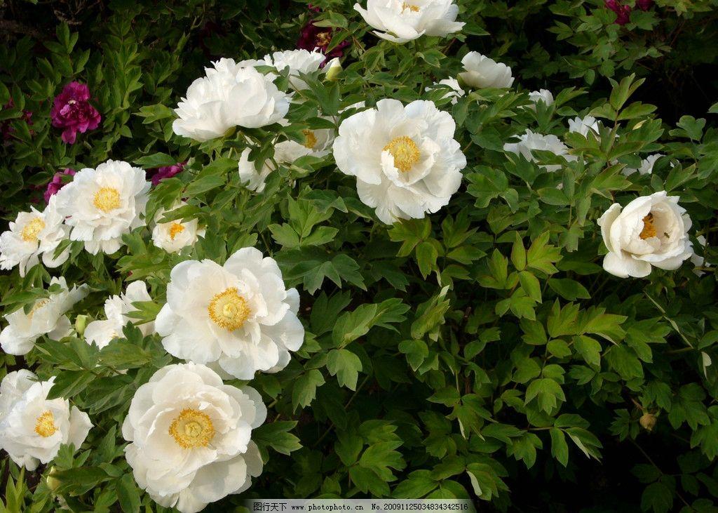 牡丹花 盛开 富贵 美丽 自然 美景 风景 自然风景 自然景观