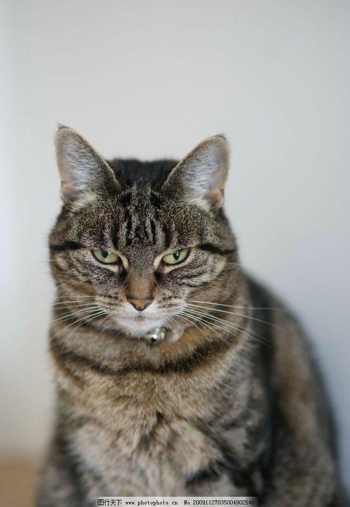 欣赏 革命/乖巧的家猫图片