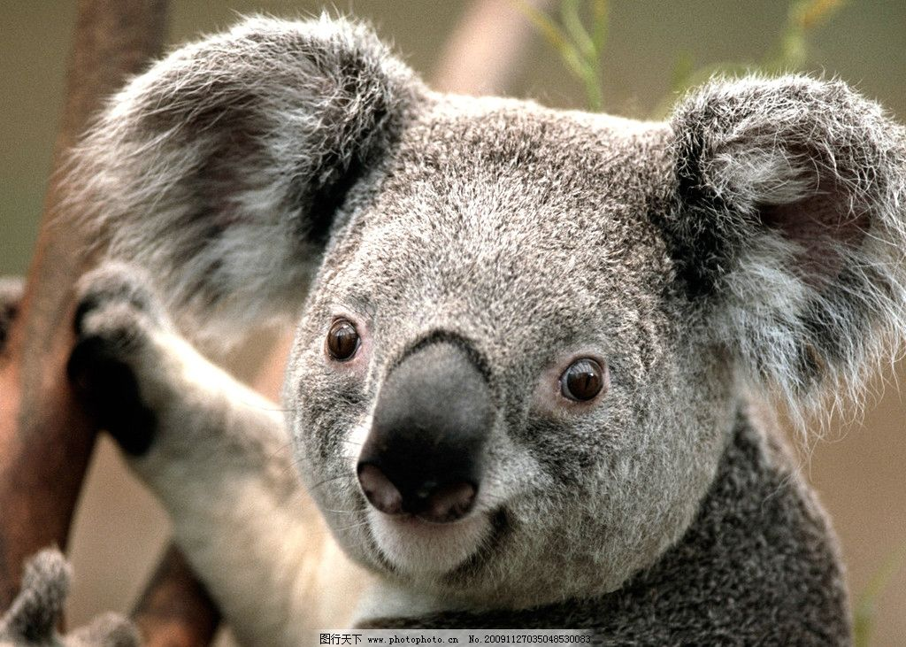 考拉 win7 示例图片 野生动物 生物世界 摄影 72dpi jpg