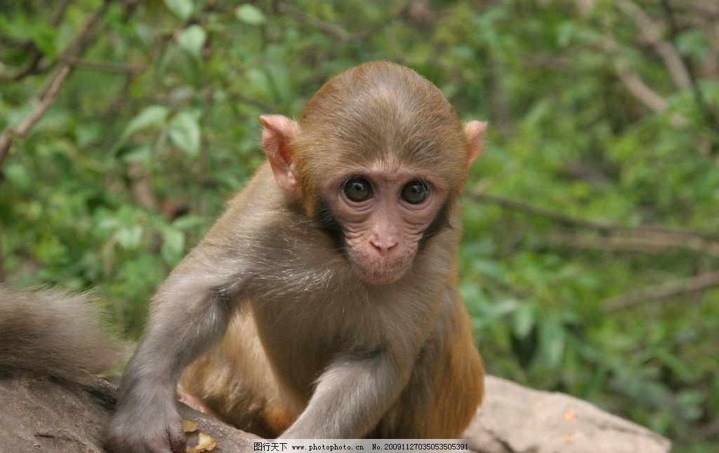 猴子 树林 森林 小猴子 野生动物 生物世界 摄影 72dpi jpg