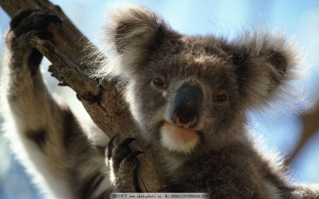 考拉 可爱 珍惜动物 澳大利亚 动物世界 野生动物 生物世界 摄影
