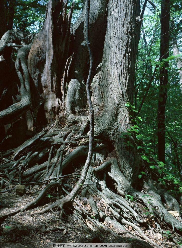 古树树根 古树 树根 自然风景 自然景观 摄影 350dpi jpg