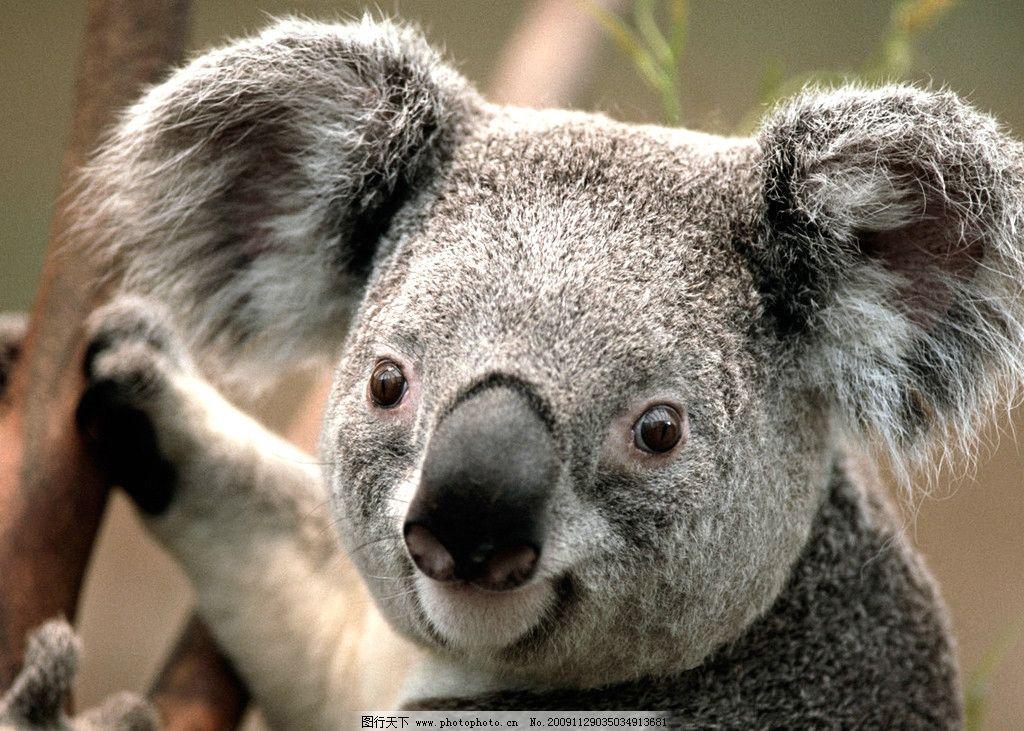 考拉 野生动物 生物世界 摄影 72dpi jpg