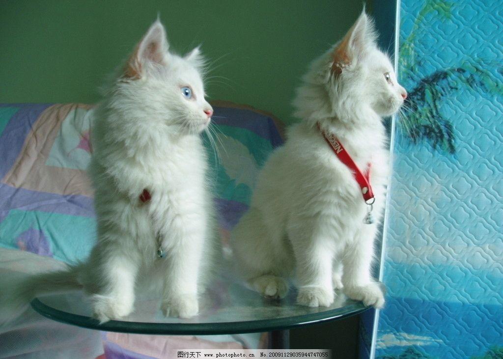 猫咪 可爱 两只小猫 白猫 摄影