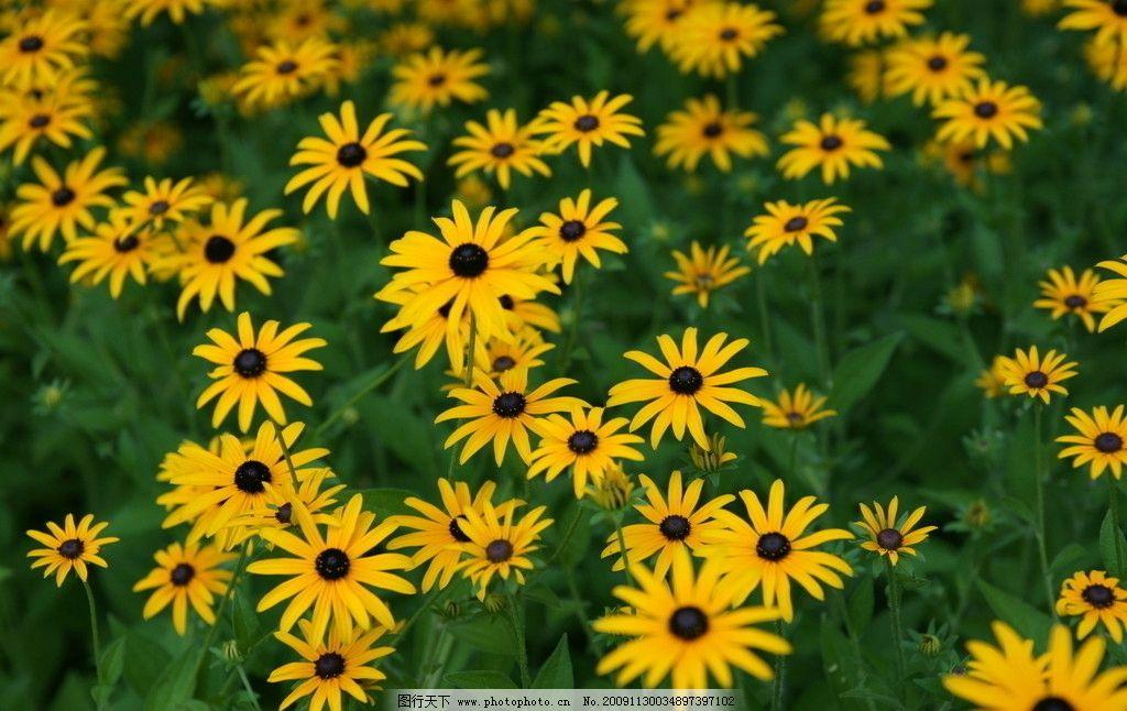 小雏菊 黄色 绿叶 花朵 菊花 图库 摄影图库 自然景观 自然风景 摄影
