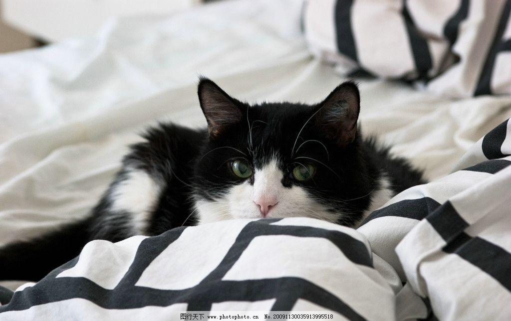 宅猫 可爱猫咪 黑白毛 黑白条纹被单 躺着的猫 摄影图库 生活百科