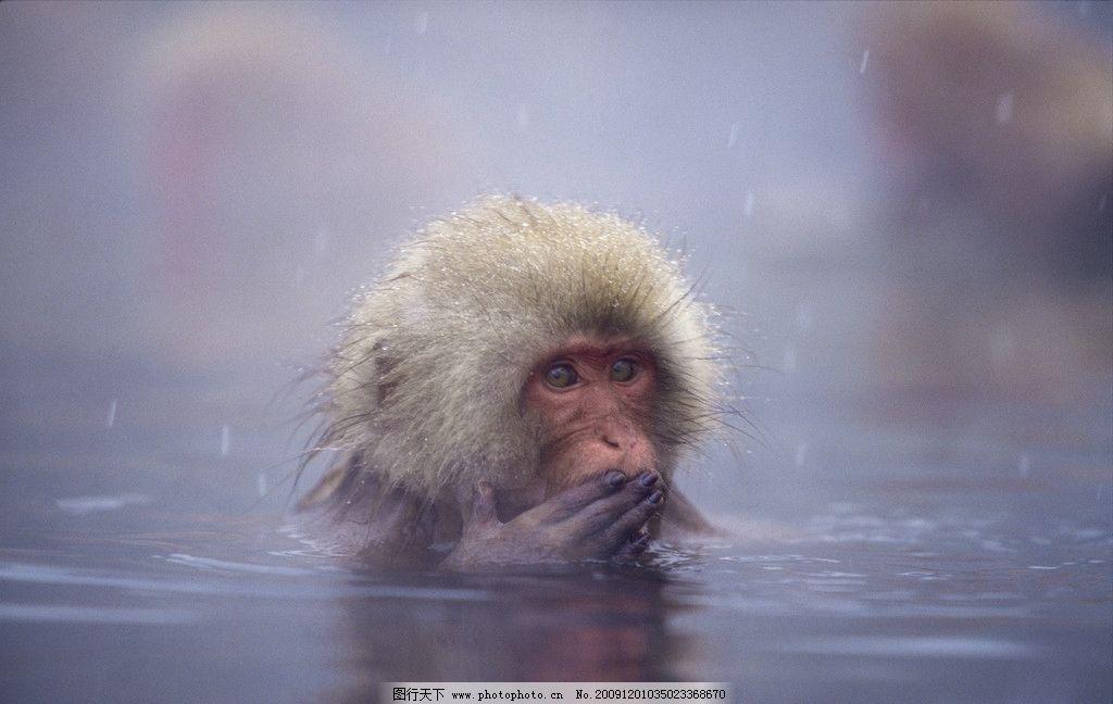 猴子洗澡 猴子 温泉 洗澡 冒烟 野生动物 生物世界 摄影 300dpi jpg