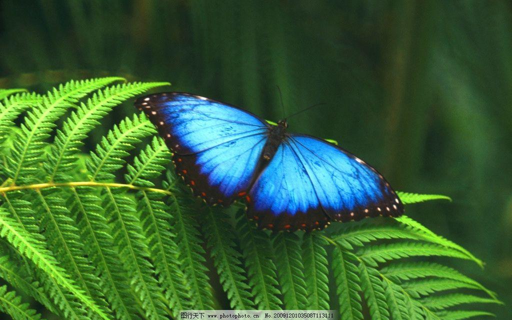 蝴蝶 蓝色 动物世界 野生动物 生物世界 摄影 300dpi jpg