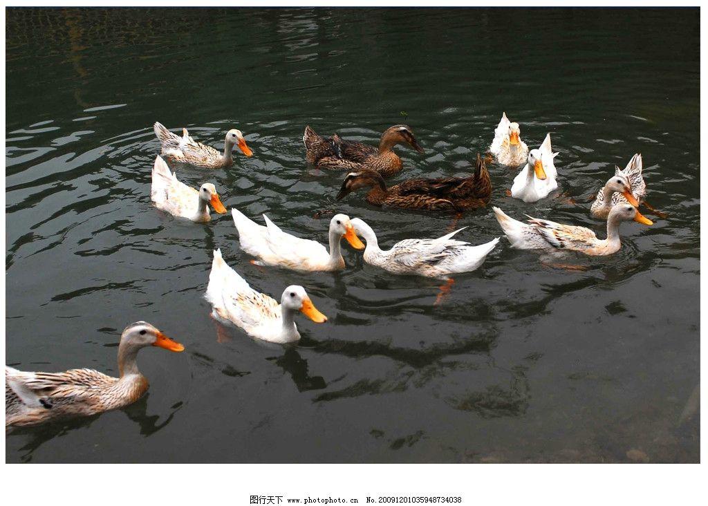春江水暖 自然 景观 景象 生物 动物 湖泊 池塘 鸭群 水色