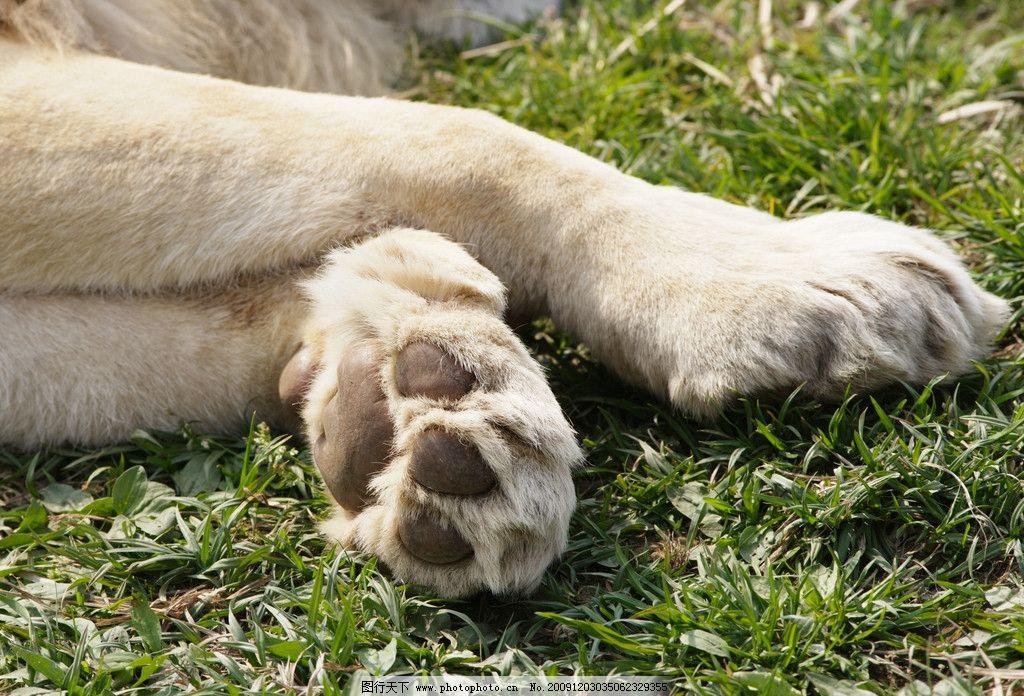 熟睡狮子的前掌 熟睡狮子 前掌 爪子 野生动物 摄影 写真 大自然 草原