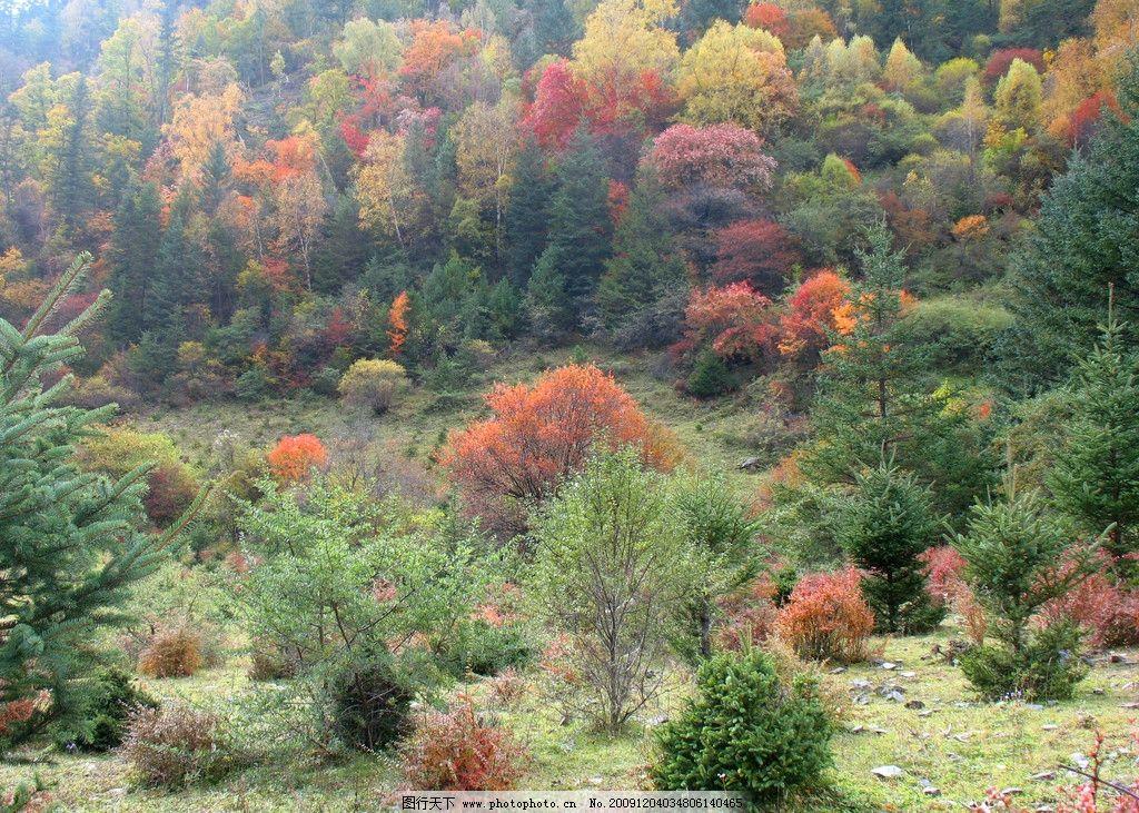 黑水 彩林 四川旅游 红叶 枫叶 秋天 晚秋 红色 森林 自然风景 自然景