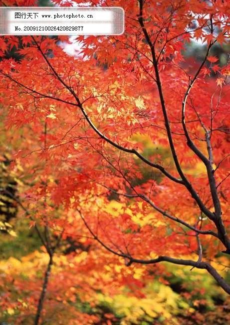 枫叶红了免费下载 枫林 红枫叶 红枫叶 枫林 摄影枫叶 图片素材 风景