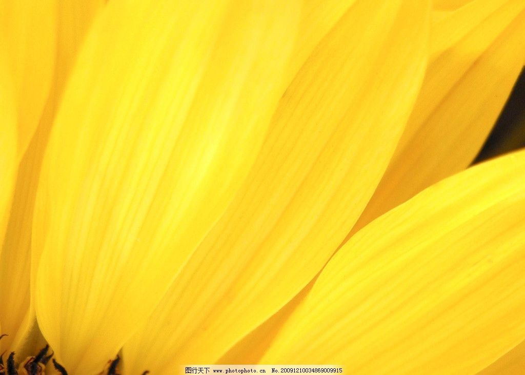 看看黄色的电影_黄色花瓣图片