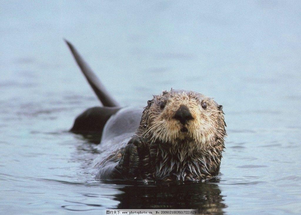 海狮 高清 野生动物 生物世界 摄影 72dpi jpg