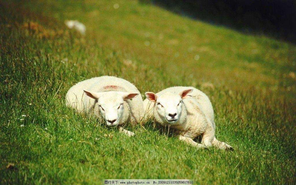 绵羊 羊 山羊 羊羔 动物世界 野生动物 生物世界 摄影 72dpi jpg