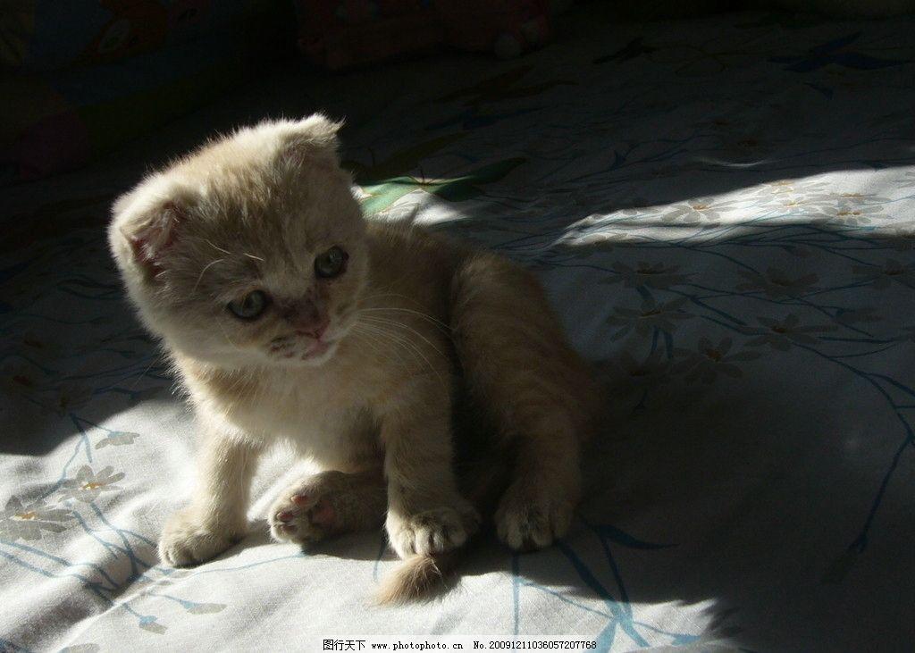 我家猫猫2 折耳猫 小猫 可爱 猫 虎斑折耳猫 其他生物 生物世界 摄影