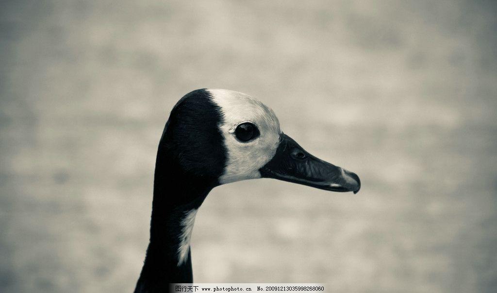 黑鸭子三重唱甜蜜蜜歌谱