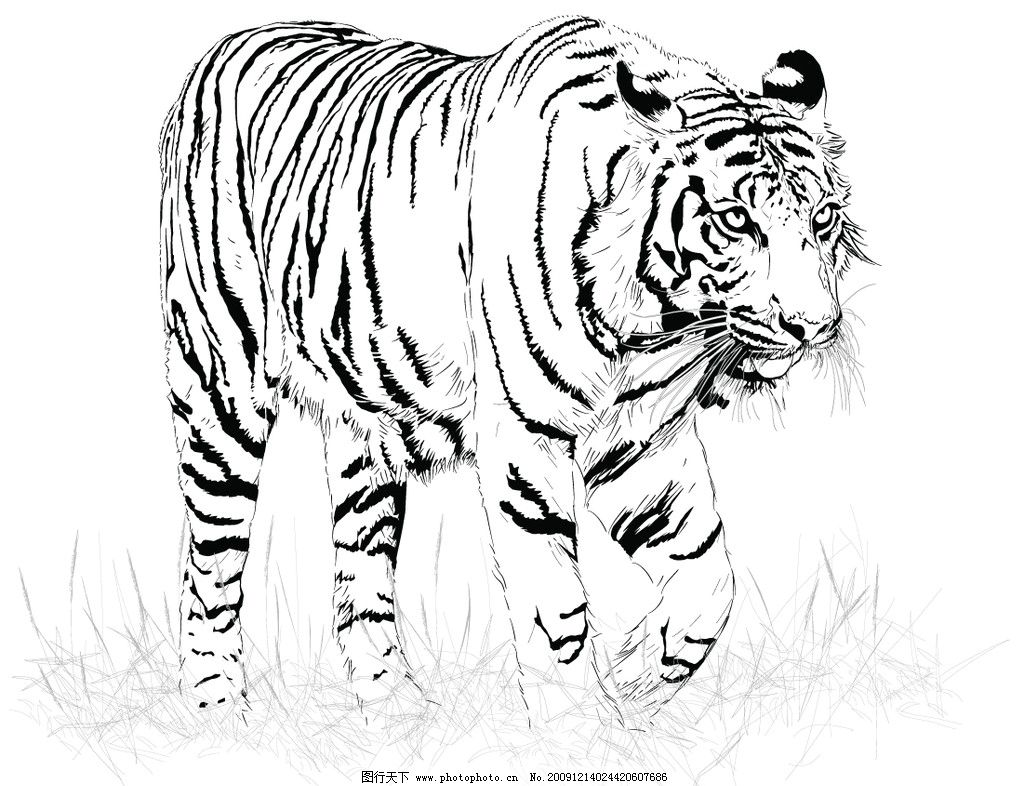 黑白虎 虎 黑白 矢量 线 野生动物 生物世界 eps