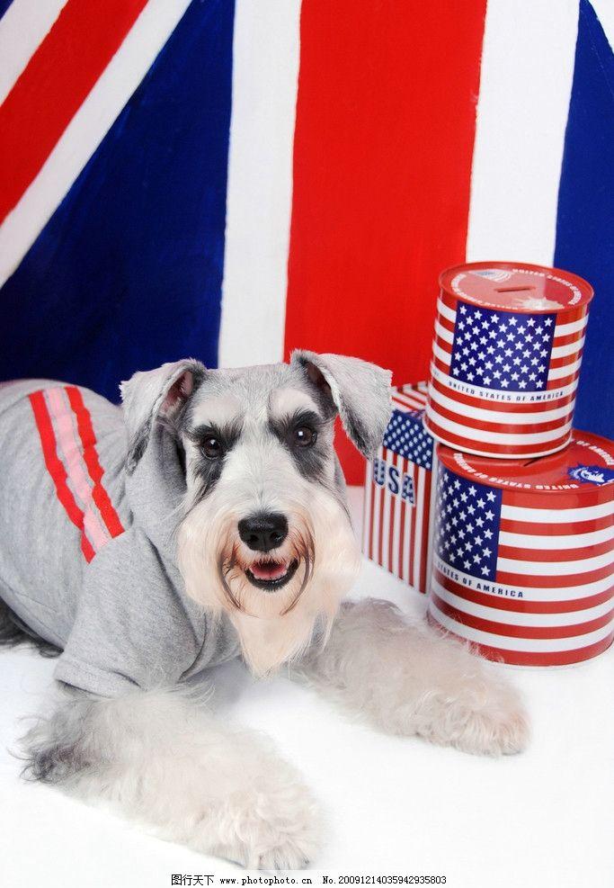 狗狗写真 犬 雪纳瑞 英国国旗 会笑的狗 趴著的狗 摄影