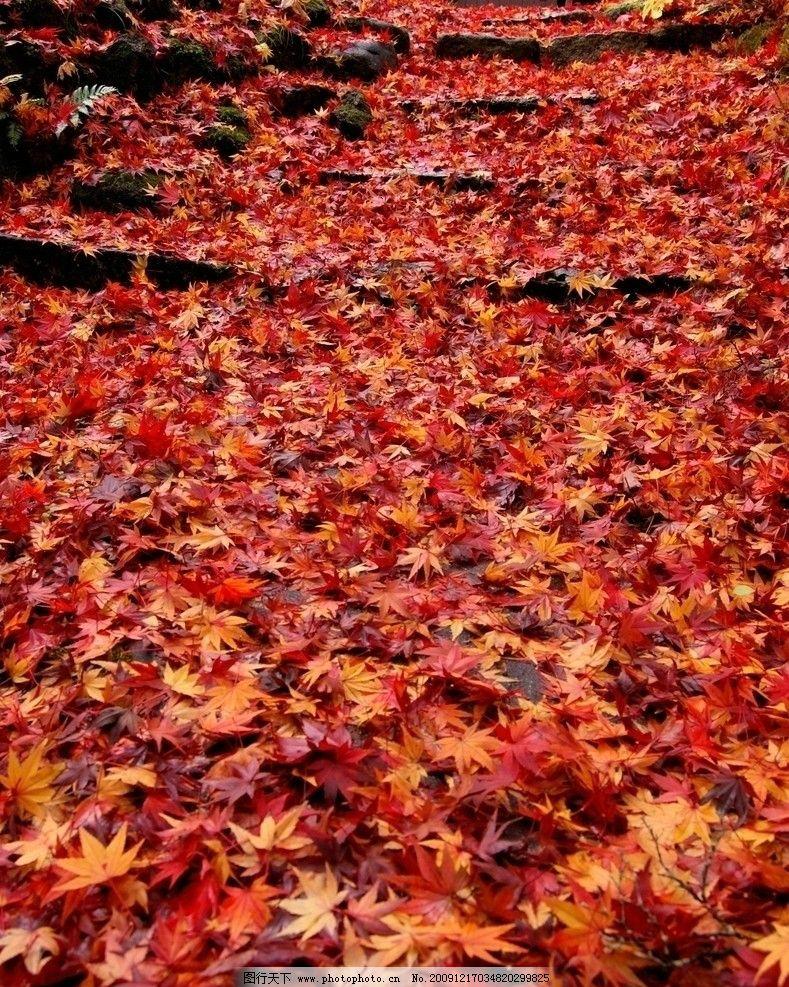 枫叶 树叶 落叶 红叶 自然风景 自然景观 摄影 72dpi jpg