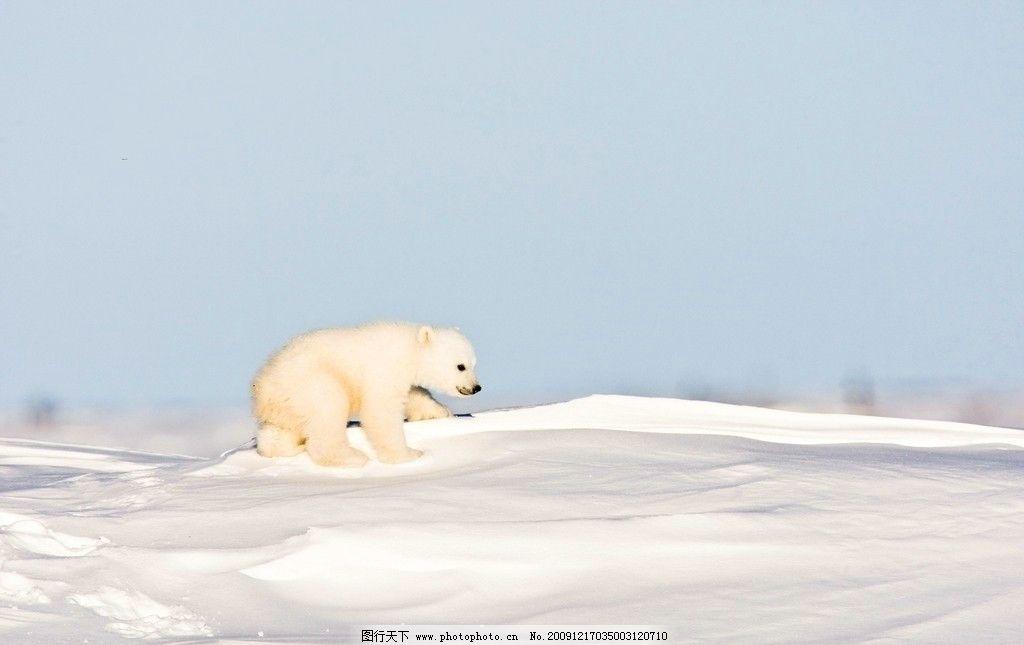 北极熊 熊 大白熊 雪地 小熊 野生动物 生物世界 摄影 300dpi jpg
