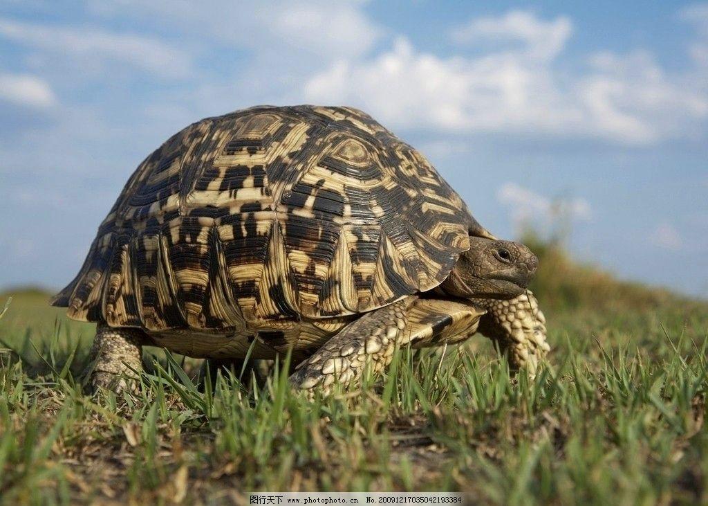 爬行的乌龟 乌龟 海龟 爬行 草地 摄影图片野生动物合集 野生动物