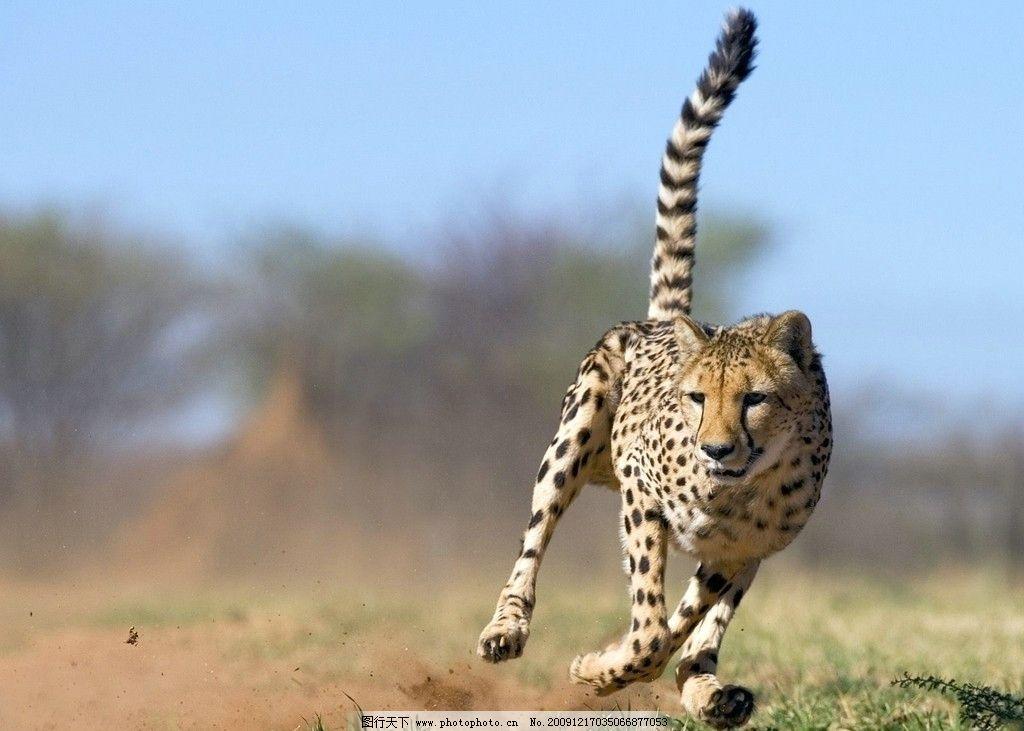 飞奔中的豹 奔跑 飞奔 豹 草原 摄影图片野生动物合集 野生动物 生物