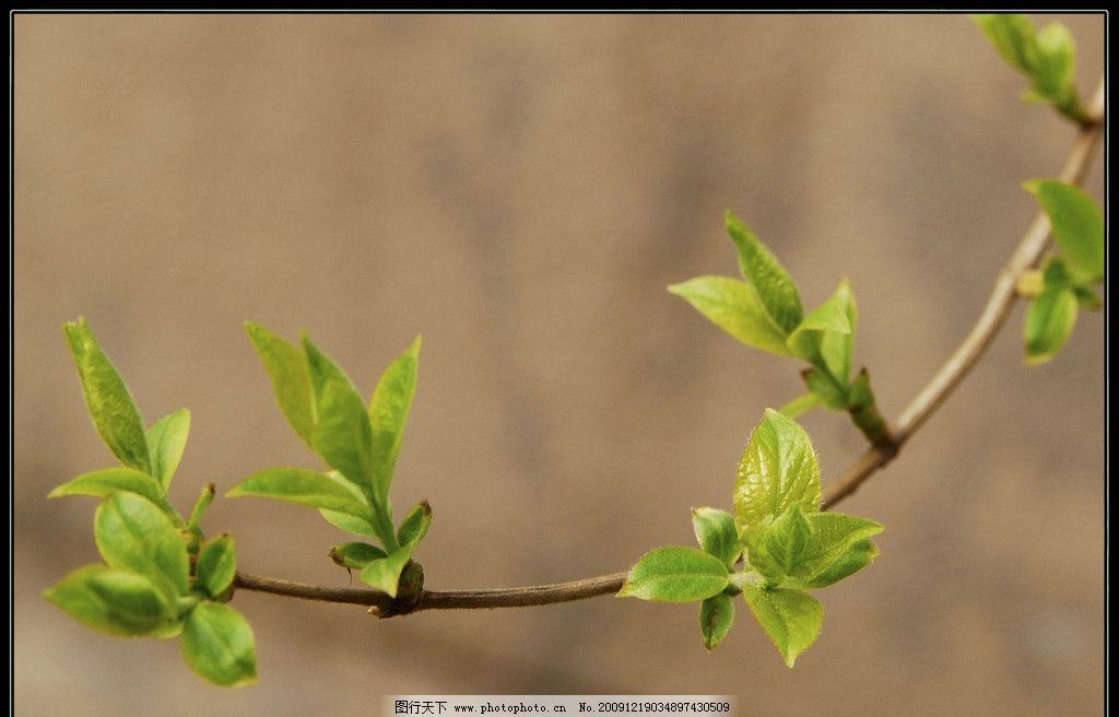 初春 春 春天 嫩叶 嫩枝 发芽 自然景物 自然风景 自然景观 摄影 240